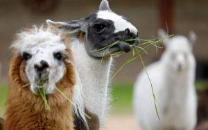 واکسن کرونا از شتر لاما